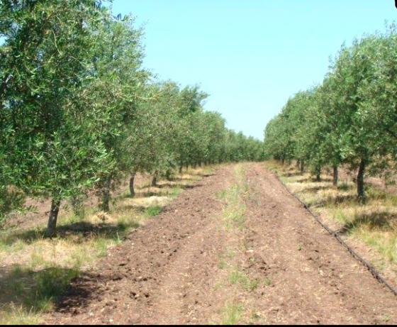 Olivar en Uruguay - Vende Rural Argentina