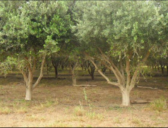 Venta de olivar en Argentina - Vende Rural Argentina